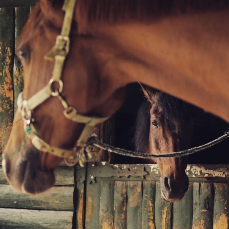 Atlarda Apse Tedavisi
